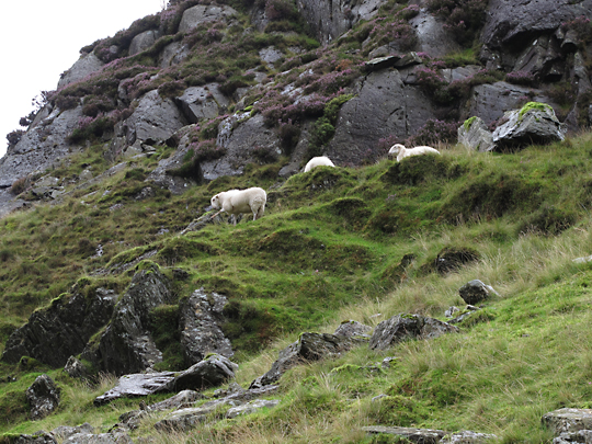 More welsh sheep acting silly..